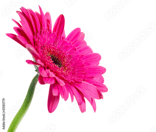 Closeup of daisy-gerbera