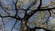 Old faithful dogwood tree