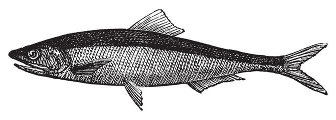 European anchovy or engraulis encrasicholus old vintage engravin