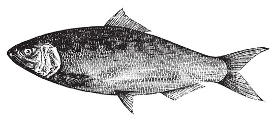 American Shad, Atlantic Shad, Alosa praestabilis or alosa sapidi