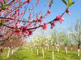 Blooming apricot trees