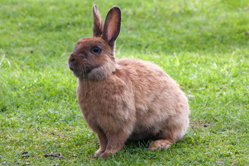 Brown rabbit in green grass
