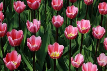 pattern of rose tulips