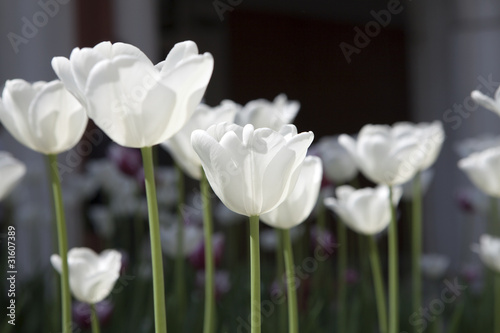 Tulip garden with white flowers and green color in daytime.
