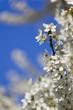 Kirschblüten auf Blau 05