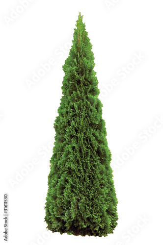 Thuja Occidentalis 'Smaragd' American Arborvitae, Isolated