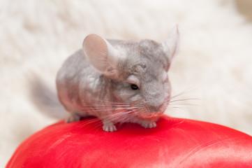 small furry chinchilla