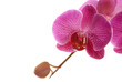 orchidee wild pink 29