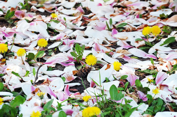 Ground with flowering dandelions covered with magnolia petals