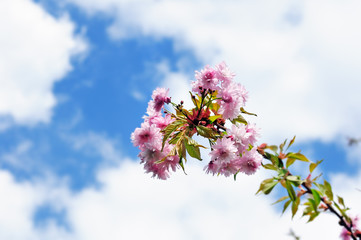 Branch of blooming Japanese cherry tree against cloudy blue sky