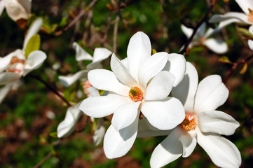 Close-up of magnolia tree blossom in a park