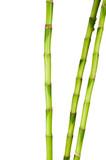 Fototapety growing bamboo