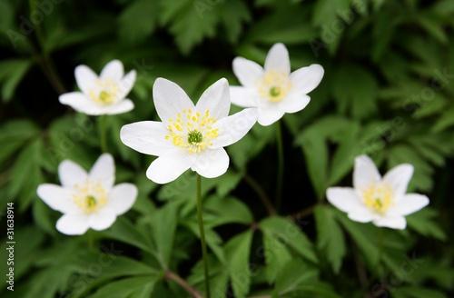 white wild anemones
