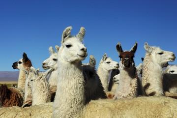 Lamas dans la pampa Argentine (NOA)
