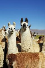 Troupeau de lamas dans la pampa Argentine (NOA)
