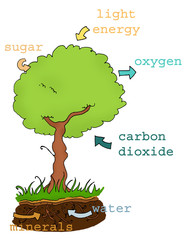schema esplicativo della fotosintesi