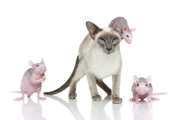 Blue-point oriental cat with three rats