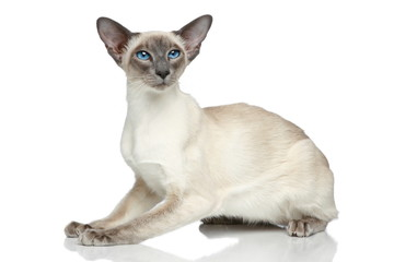 Oriental Blue-point siamese cat portrait