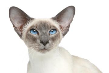 Oriental Blue-point siamese cat. Close-up portrait