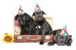 three Cane corso  puppies in party cone