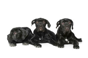 three Cane corso dog puppy lying on a white bacground