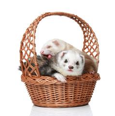 Ferrets lying in basket