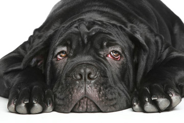 Cane corso dog puppy Close-up portrait