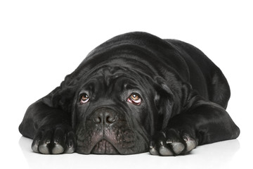 Cane corso dog puppy lying on a white