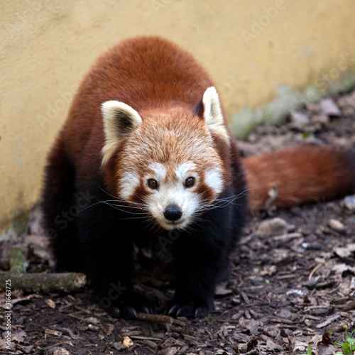 Red Panda in Captivity