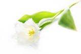 fringed white tulip isolated on white background poster
