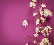 Spring Blossom over pink background