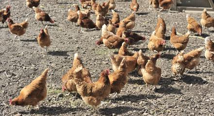 Freilebende Hühner 1