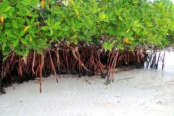Mangrove plant in sea shore aerial roots Caribbean