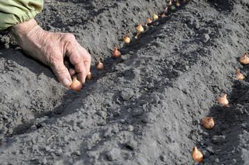 planting the onion