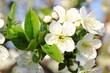 Fototapeten,apfelbaum,apfel,apfelblüte,blütenstand