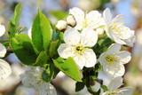 Fototapety Apfelblüte