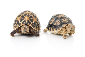 Indian Star Tortoise and Leopard Tortoise part ways