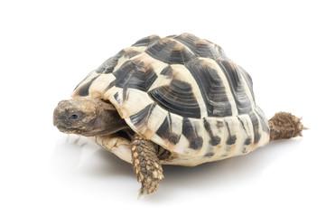 Herman's Tortoise against white background.