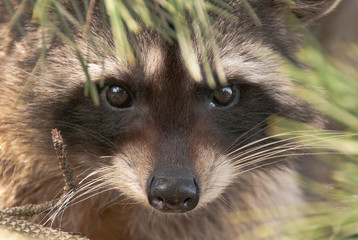 A cute close-up portrait of a raccoon sitting on the tree.