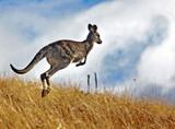Fototapete Känguruh - Säugetier - Säugetiere