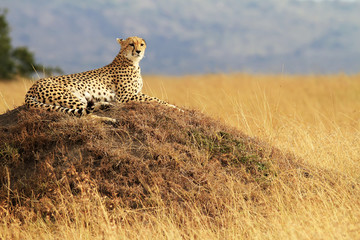 Cheetah on the Masai Mara in Kenya