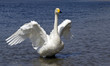 White whooper swan  in the river