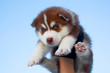 lovely siberian husky puppy against the blue sky
