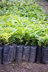 piantine di caffè in una coltivazione in ecuador