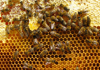 Working bees, inside cells are young larvae. Close up macro.