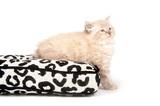 Cute fuzzy kitten on a pillow poster