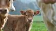 veau entre des vaches