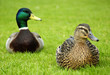 Couple of European ducks on a grass