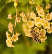 Biene beim Nektar saugen einer Johannisbeerblüte