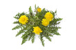 Fresh Dandelion plant